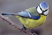 Blue tit counted in the Big School Birdwatch