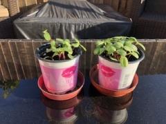 Alfie planting